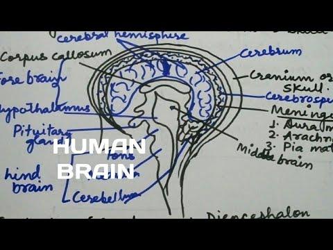 Human brain of class 10 How To draw human brain easily ...