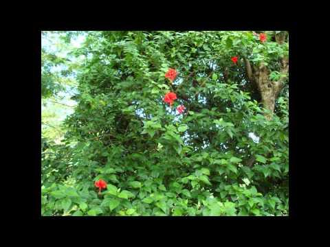 ГИБИСКУС  (HIBISCUS)  сем. Мальвовые