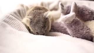 Милый малыш коала
