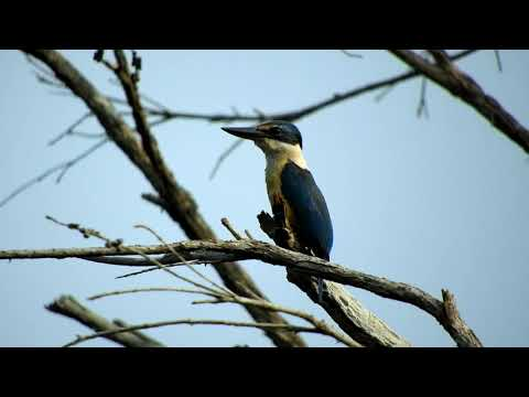 Видео: Forest Kingfisher