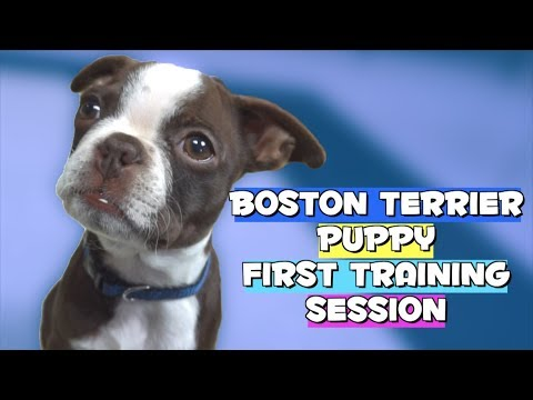 Boston Terrier Puppy FIRST TRAINING SESSION