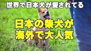 【海外の反応】日本犬が海外で大人気!日本の柴犬が世界的な人気者にな...