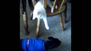 Cat Stalks Min Pin