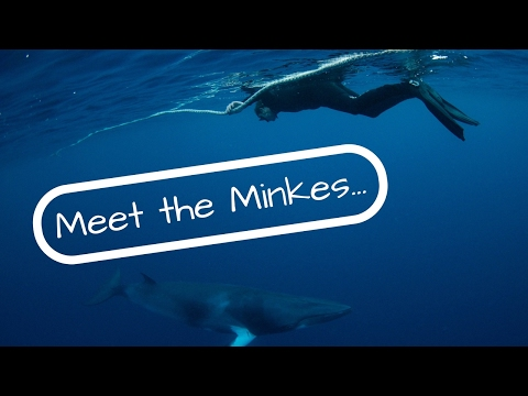 MEET The MINKE WHALES