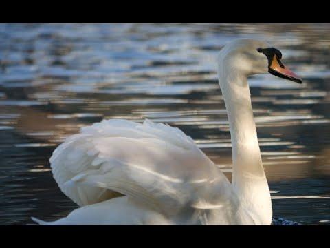 Swan Sound 2016