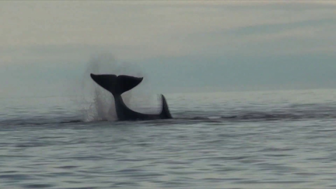 Стая касаток разрывает тюленя A pack of killer whales kills seals