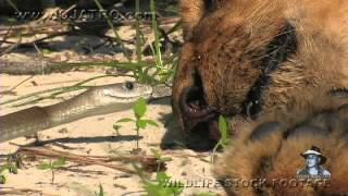 Repeat youtube video Black Mamba vs Dead Lion 01 - Deadly Snake Attacks Lion