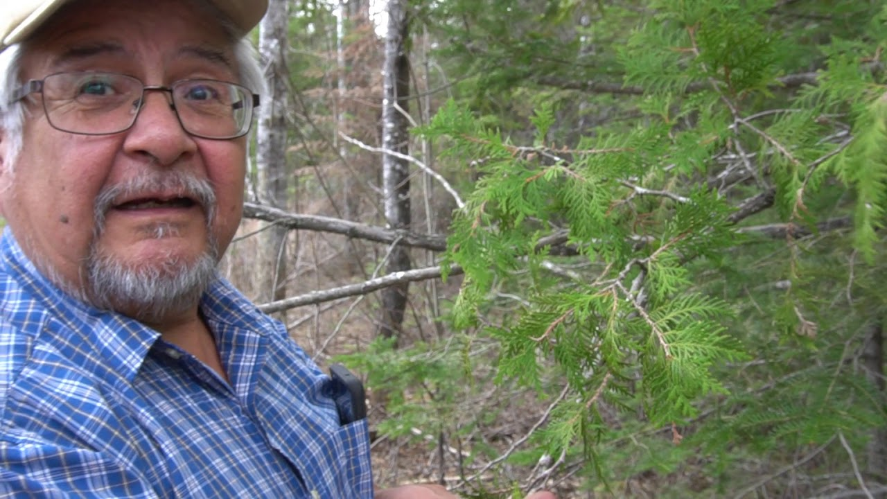 Download Identifying Cedar Trees