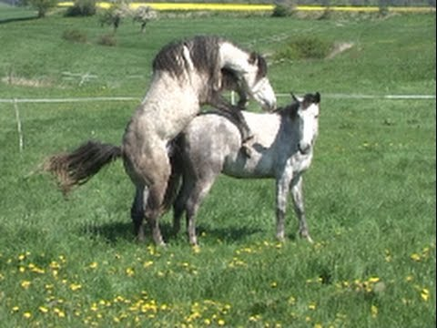 Decksprung ~ natur mating, at * The Wild Horse Place - YouTube