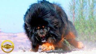 10 อันดับ พันธุ์สุนัขที่ผิดกฎหมายและโดนแบนจากทั่วโลก (Banned น้องหมาแอบโหด!!)