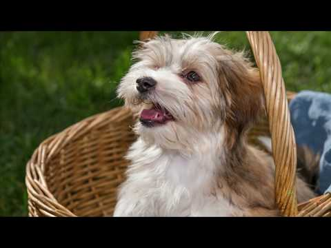 Havanese Dog Breed Information - Havanese Facts