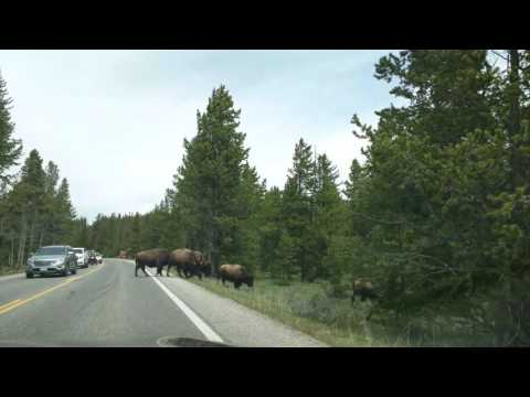 Bisons cross the road at Yellowstone