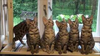 Бенгальские котята (DoZoo.ru)