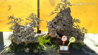 Tuban Indonesia Bonsai National  Exhibition 2019