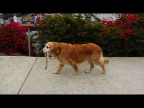 Dog Walks Itself