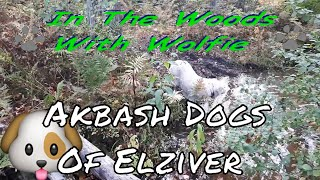 The Forest Akbash Dogs Of Elizver