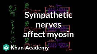 Sympathetic Nerves Affect Myosin Activity
