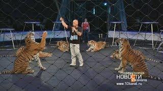 Сколько весит тигр, чем его кормить и как приручить?