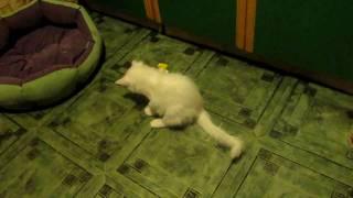 Ангорский котенок