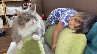 飴玉をなかなか貰えない猫と格好を真似される猫 ラガマフィンとノルウェージャンフォレストキャットA cat imitated by daughter. Norwegian Forest Cat.