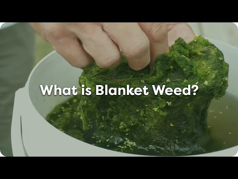 What Is Blanket Weed?