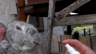Борьба с миксаматозом продолжается ,первые дни самые тяжёлые,ожидание падежа у кролей.