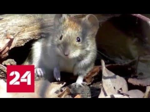 В Саратовской области зафиксирована вспышка мышиной лихорадки - Россия 24