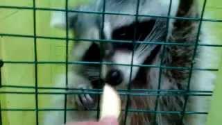 Raccoon Mika