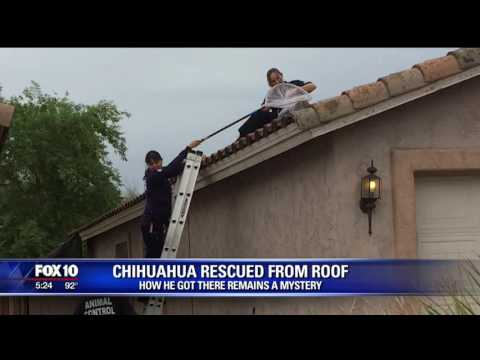 chihuahua-rescued-from-phoenix-roof