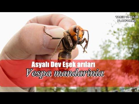 Asyalı Dev Eşek Arıları