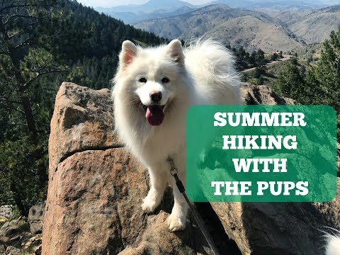 Hiking with my Samoyed Pups in Frisco, Colorado
