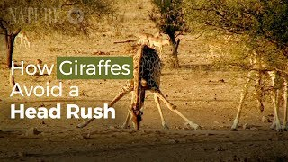 How Drinking Giraffes Avoid a Head Rush