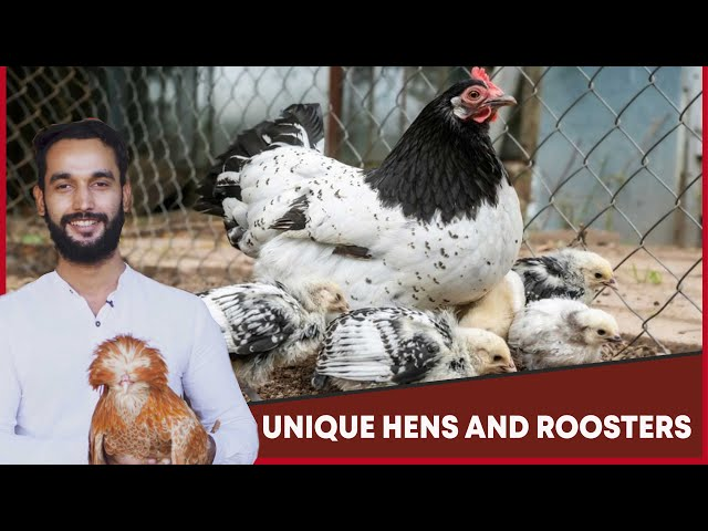 Unique Hens And Roosters In Karachi  | MM News Tv