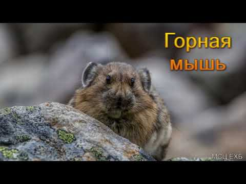 """""""Горная мышь"""". А. Сенцов. МСЦ ЕХБ."""