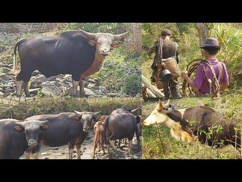 Download Rare Giant Wild Methun | Wildlife | State Animal of Nagaland | Hunters Lifestyle