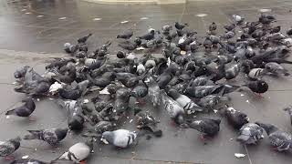 Funy animal videos, pigeons