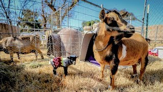 is-this-new-mom-rejecting-her-littlest-baby-goat