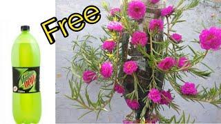 घर में आसानी से उगाए इतने सुंदर Portulaca || Easy Way to Grow Portulaca in Bottle || Fresh Gardening
