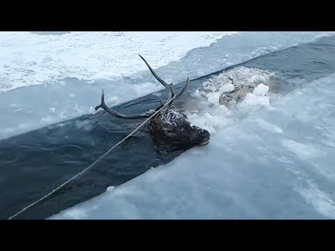 Red Deer Rescued from Frozen River in Siberia