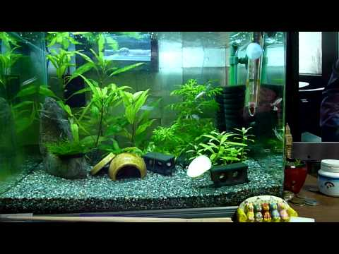 Pygmy cory shoaling and schooling (featuring otocinclus)
