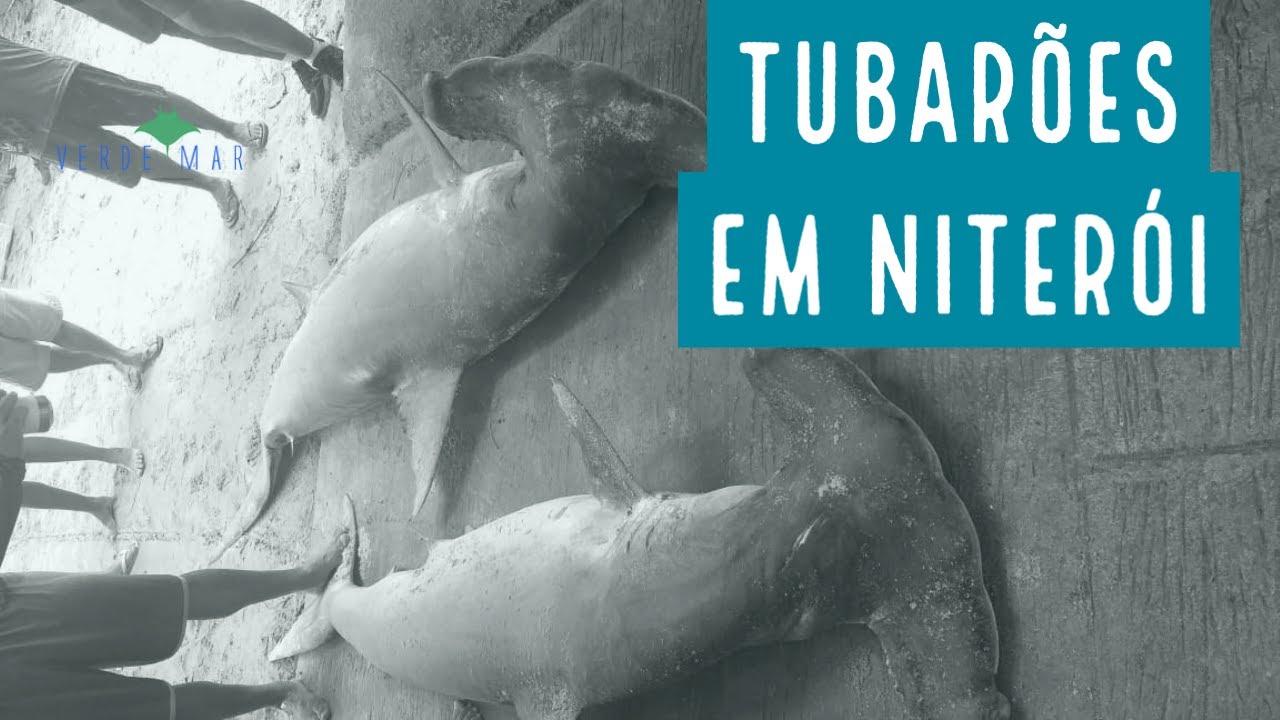 Tubarões capturados na Praia de Itaipu, Niterói/RJ