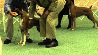 Primm Dog Show - Boxers