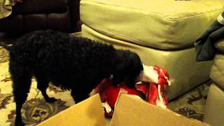 Poodle Opening Christmas Gift