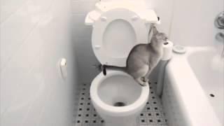 кот ходит в туалет в унитаз