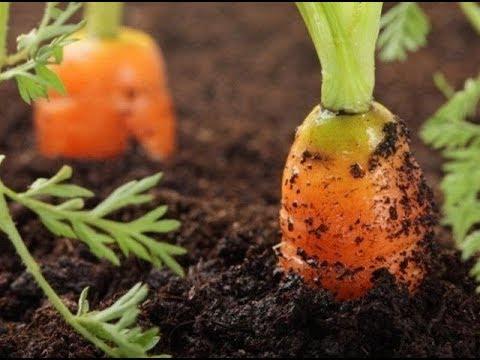СУПЕР-СПОСОБ ПОСЕВА МОРКОВИ И СВЁКЛЫ. НИКАКОГО ПРОРЕЖИВАНИЯ | прополка | перегной | морковь | моркови | способ | свёклы | свёкла | посева | супер | и