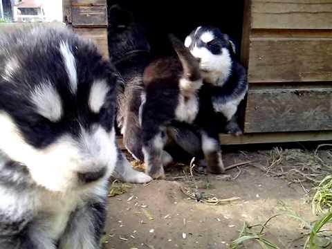 puppy siberian husky golden retriever mix youtube