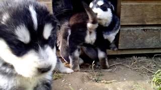 Puppy Siberian Husky - Golden Retriever Mix