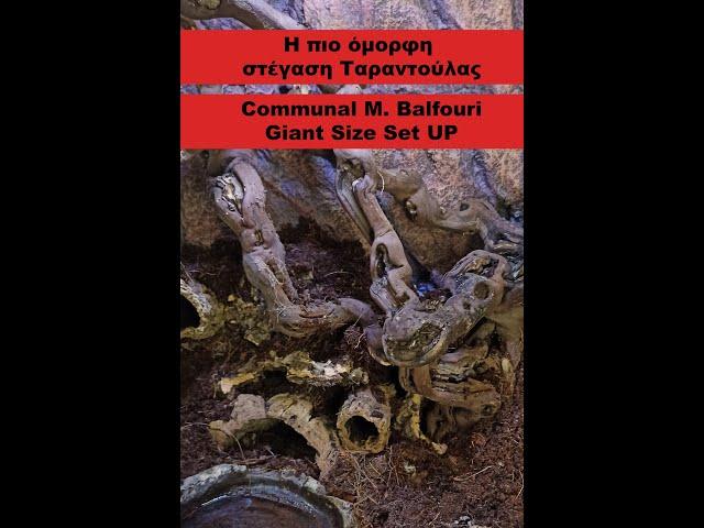 Ταραντούλα αράχνη στήσιμο κοινόβιο | Communal M. Balfouri | Feeders Strs 74
