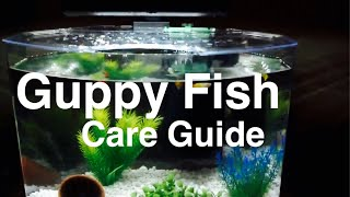 Guppy Fish Facts & Caring for Guppies