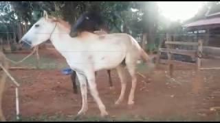 Cavalo tentando comer égua...